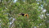 Great Hornbill perching on a branch video