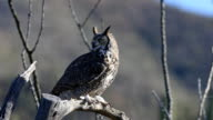 Great Horned Owl, Bubo virginianus video