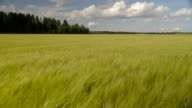 Great landscape view of the wide barley field video