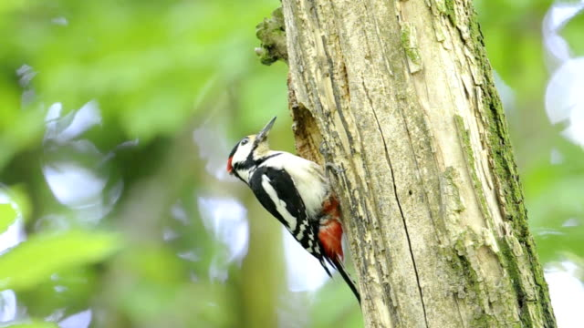 Great Spotted Woodpecker at nest video