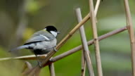 Great Tit ,Bird singing on branch video