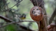 great tit (Parus major) on bird feeder in winter. coconut. focus on front. video
