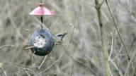great tit (Parus major) on bird feeder in winter. coconut. video