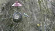 great tit (Parus major) on bird feeder in winter. coconut. video