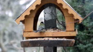 great tit on bird feeder in winter time. video