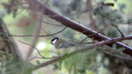 great tit (Parus major) sitting on a conifer twig in winter. 2 sequences. video