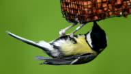 Great Tit video