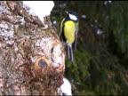 Great Tits on Oak Tree video