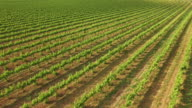 Great Vineyard in Spring Aerial View video