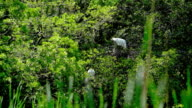 Great White Heron, or Great Egret, nesting on the cypress swamp video