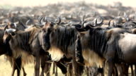 Great Wildebeest Migration in Kenya video