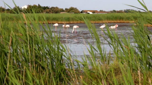 Greater Flamingos in Camargue park video