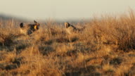 Greater prairie chickens face off on lek northeast Colorado video