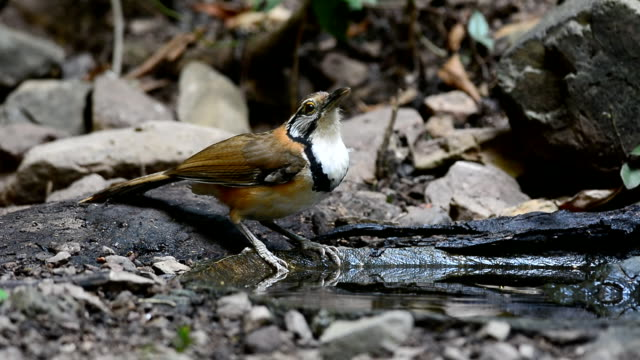 Greater-necklaced Laughingthrush bird video