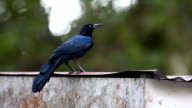 Great-tailed Grackle (Quiscalus mexicanus) preens on a tin roof in Costa Rica video