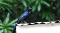 Great-tailed Grackle, Quiscalus mexicanus, preens on a tin roof in Costa Rica video