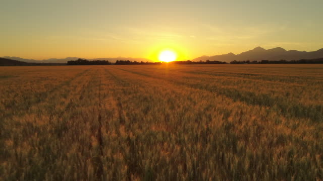 AERIAL: Greed and brown wheat plants on vast field in rural landscape at sunset video