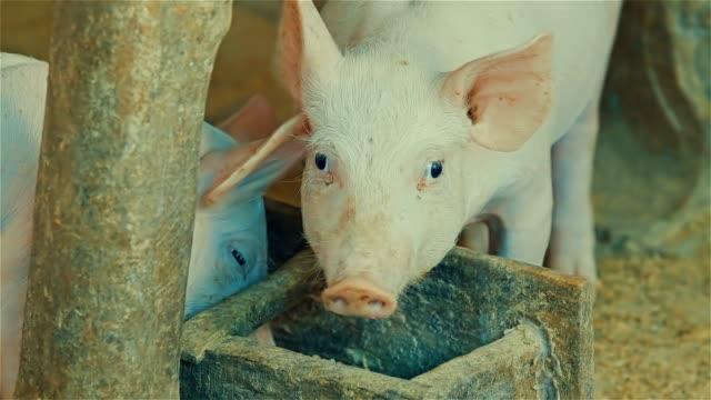 Greedy rural pig eating rice bran video