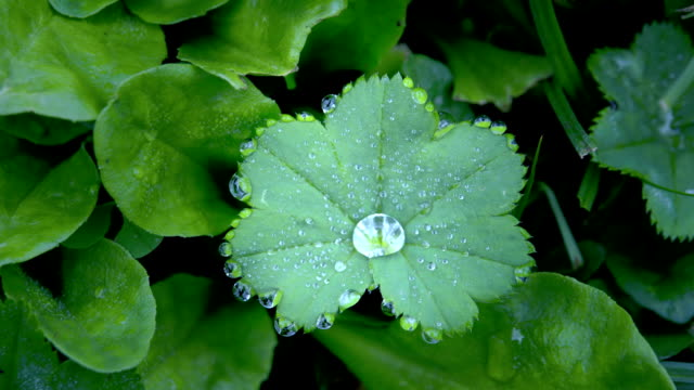 A green Alchemilla vulgaris plant with moisture video