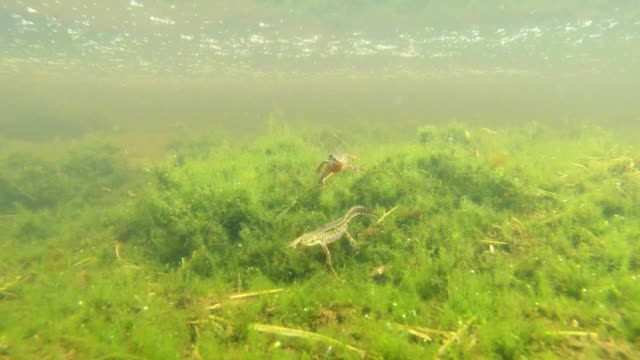 green algae and aquatic organisms, Triton and another mysterious creature, newt swims in the green algae in a mountain pond video