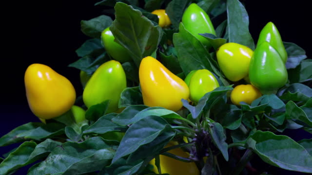 Green and yellow peppers ripening video