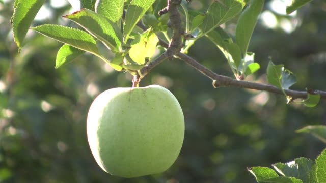 Green Apple. Agriculture. video