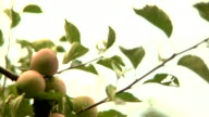 HD - Green Apples In Orchard video