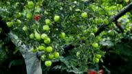Green Apples on a Tree video
