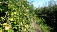 Green apples trees in a row video