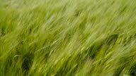 Green barley plants and the windy weather video