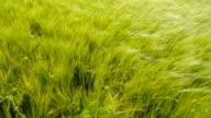 Green barley plants waving on the wind video