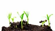 Green Bean Growing in Timelapse video