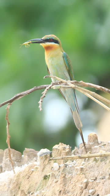 Green Bee Eater video