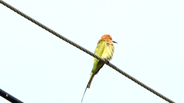 Green Bee-eater video