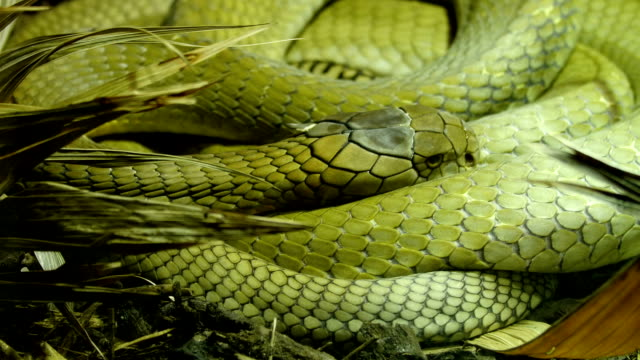 A green big king cobra curling up on a grass video