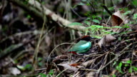 Green bird pitta landing and  feeding new born chicks. video
