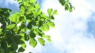 HD: Green branch video