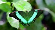 Green butterfly video