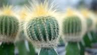 Green cactus video