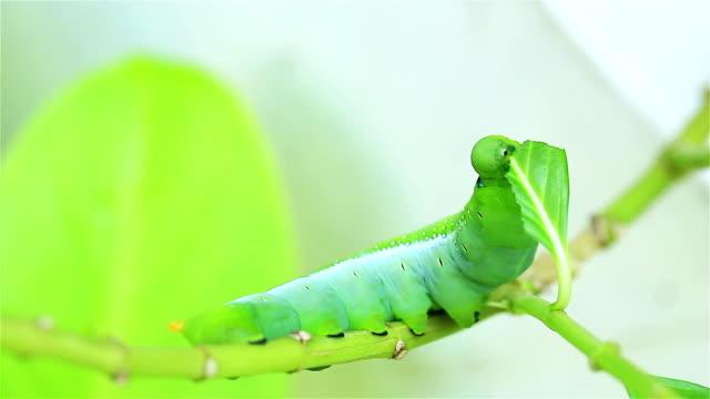 Green Caterpillar Eating video