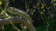 green chameleon by broom video