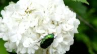 green coleopteran bug video