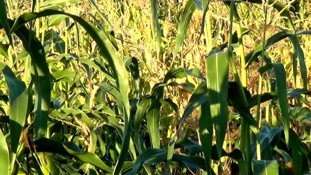 Green corn field, corn on the cob. video