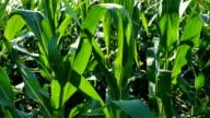 Green Corn Tracking HD video