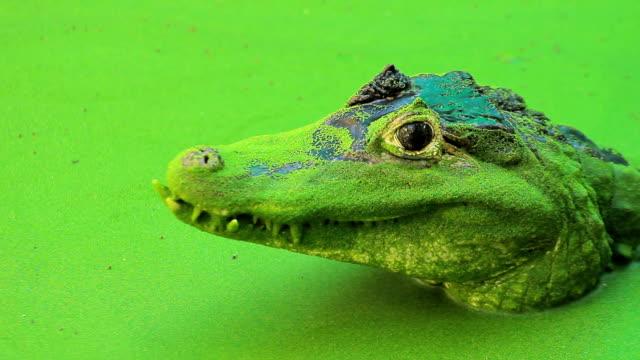 Green crocodile video