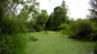 Green duckweed covered pond in bushes, time lapse video