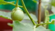 Green Eggplant in the vegetable garden video