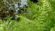 Green ferns on the forest 4K FS700 Odyssey 7Q video