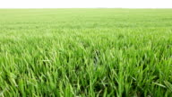 Green field in the spring. video