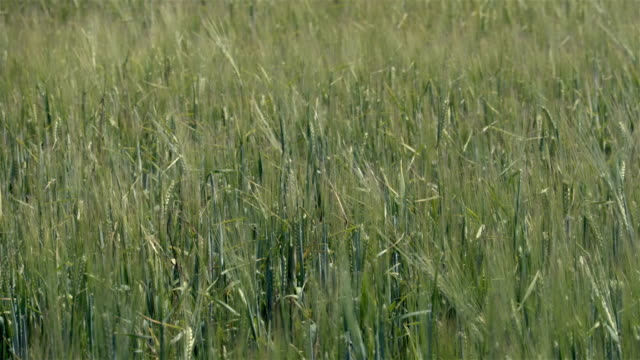 Green field in windy day summer time video